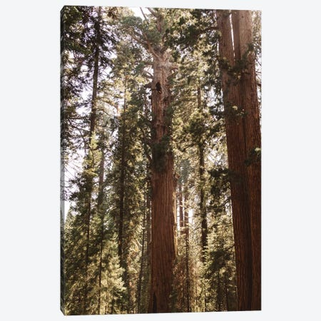 Sequoia National Park XIV Canvas Print #BTY616} by Bethany Young Canvas Print