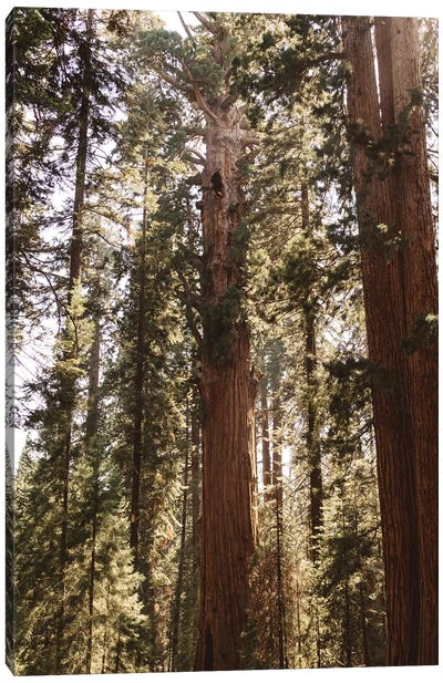 Sequoia National Park XIV Canvas Art Print