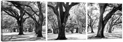 Oak Tree Study Canvas Art Print