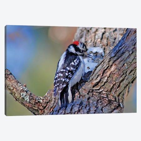 Downy Woodpecker Canvas Print #BWF105} by Brian Wolf Canvas Artwork