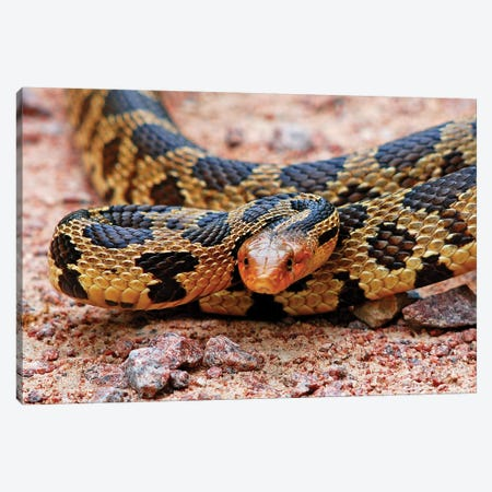 Eastern Fox Snake 3-Piece Canvas #BWF108} by Brian Wolf Canvas Art Print