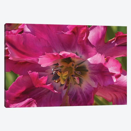 Fancy Tulip Canvas Print #BWF112} by Brian Wolf Canvas Wall Art