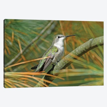 Female Ruby Throated Hummingbird Canvas Print #BWF114} by Brian Wolf Canvas Print