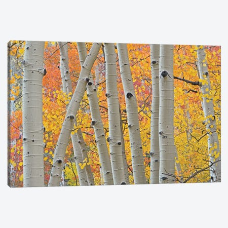 Aspen Boles Canvas Print #BWF11} by Brian Wolf Canvas Wall Art