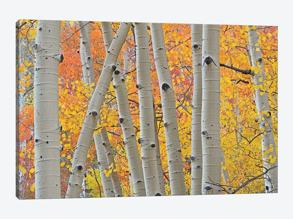 Aspen Boles by Brian Wolf 1-piece Canvas Wall Art