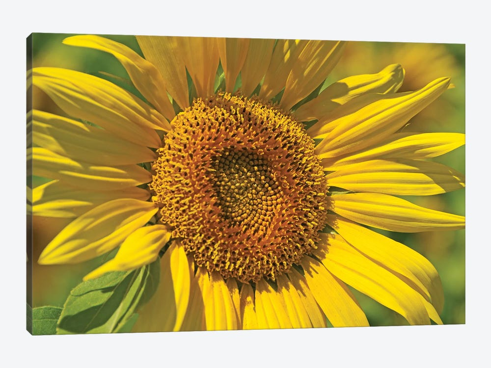 Golden Sunflower by Brian Wolf 1-piece Canvas Artwork