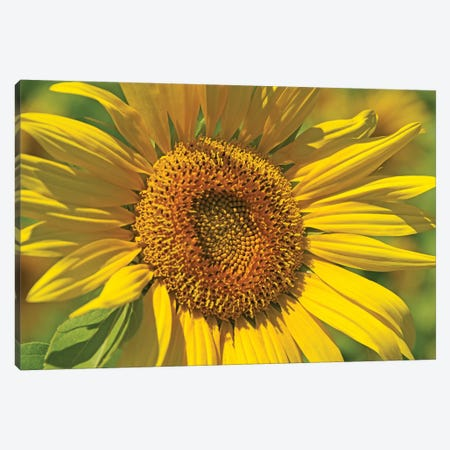 Golden Sunflower Canvas Print #BWF148} by Brian Wolf Art Print