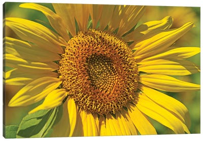 Golden Sunflower Canvas Art Print