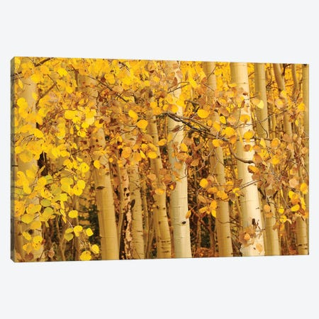 Aspen Leaves Canvas Print #BWF14} by Brian Wolf Canvas Art Print