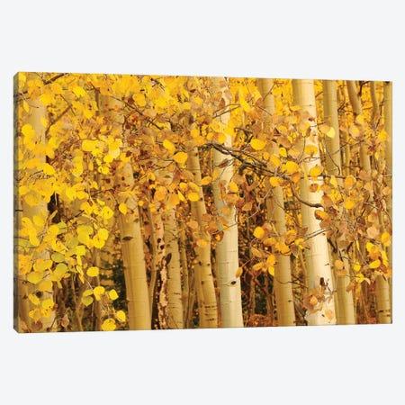 Aspen Leaves Canvas Print #BWF14} by Brian Wolf Canvas Art Print