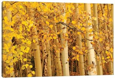 Aspen Leaves Canvas Art Print