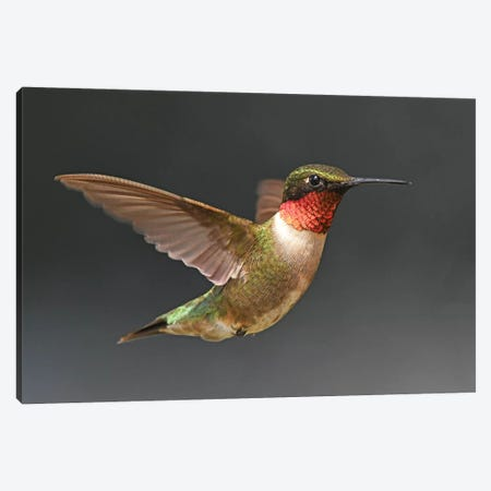 Hummer In Flight Canvas Print #BWF167} by Brian Wolf Canvas Artwork
