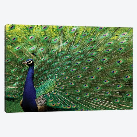 Majestic Peacock Canvas Print #BWF191} by Brian Wolf Canvas Art