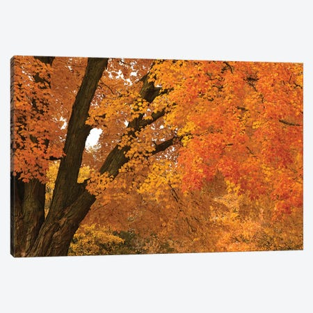 Maple Canopy Canvas Print #BWF193} by Brian Wolf Canvas Art