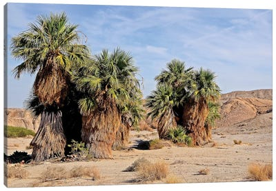 17 Palms Oasis At Anza Borrego Canvas Art Print
