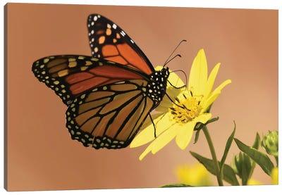 Monarch Butterfly Canvas Art Print