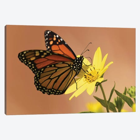 Monarch Butterfly Canvas Print #BWF201} by Brian Wolf Canvas Wall Art