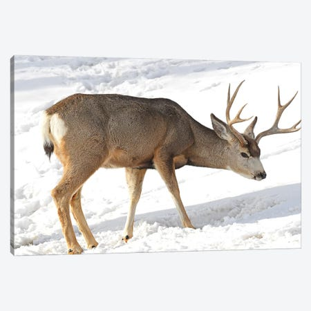 Mule Deer Canvas Print #BWF222} by Brian Wolf Canvas Art