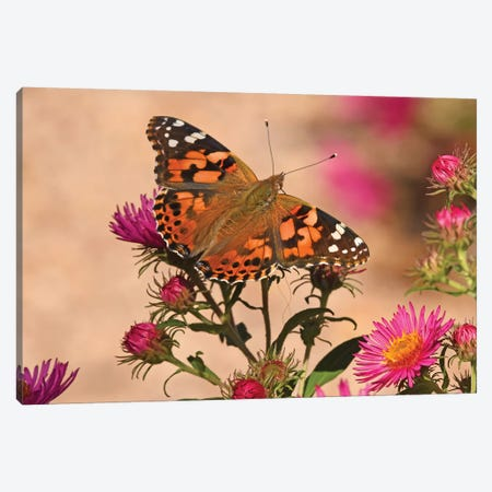 Painted Lady - colorado 2018 Canvas Print #BWF238} by Brian Wolf Art Print