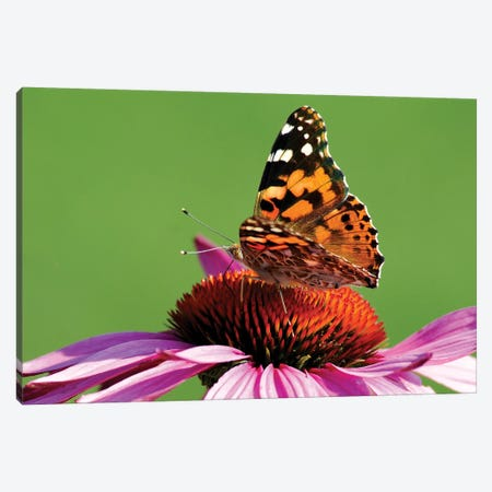 Painted Lady on Cone Flower Canvas Print #BWF239} by Brian Wolf Art Print
