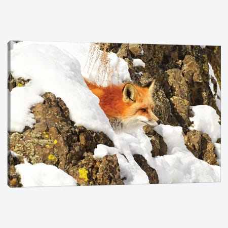Peek A Boo Fox Canvas Print #BWF243} by Brian Wolf Canvas Art