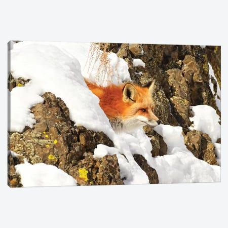Peek A Boo Fox Canvas Print #BWF243} by Brian Wolf Canvas Art
