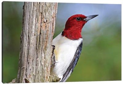 Red Headed Woodpecker Canvas Art Print