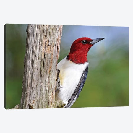 Red Headed Woodpecker 3-Piece Canvas #BWF258} by Brian Wolf Canvas Art Print