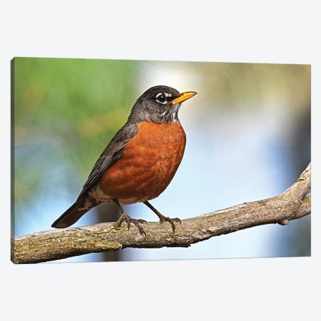 Robin Redbreast Canvas Print #BWF266} by Brian Wolf Art Print