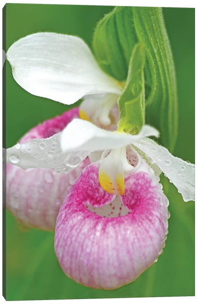 Showy Lady Slippers Canvas Art Print