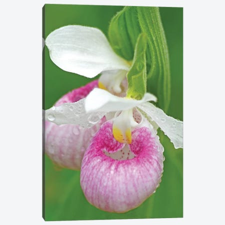 Showy Lady Slippers Canvas Print #BWF282} by Brian Wolf Canvas Artwork