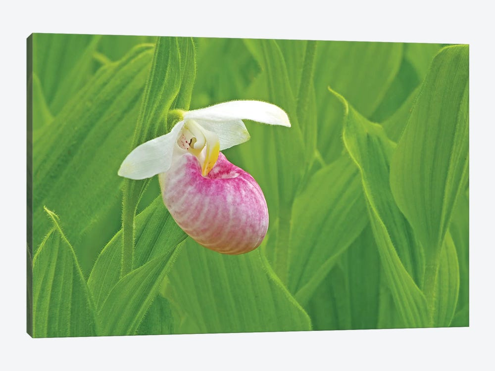 Single Lady Slipper 1-piece Canvas Wall Art