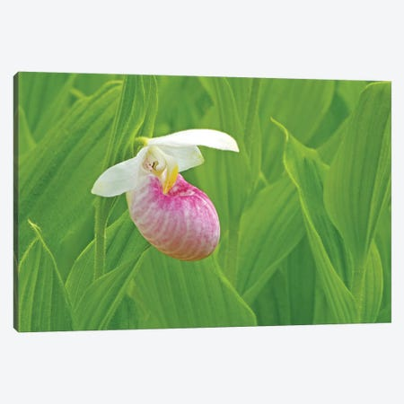 Single Lady Slipper Canvas Print #BWF284} by Brian Wolf Art Print
