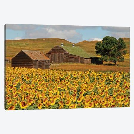 Sunflower Field Canvas Print #BWF315} by Brian Wolf Art Print
