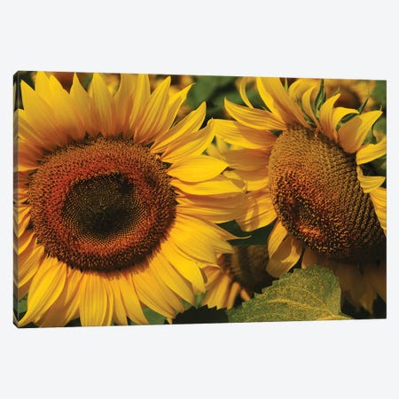 Sunflowers Canvas Print #BWF316} by Brian Wolf Canvas Print