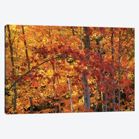 Backlit Maples Canvas Print #BWF31} by Brian Wolf Canvas Art