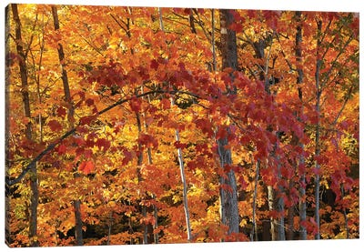Backlit Maples Canvas Art Print