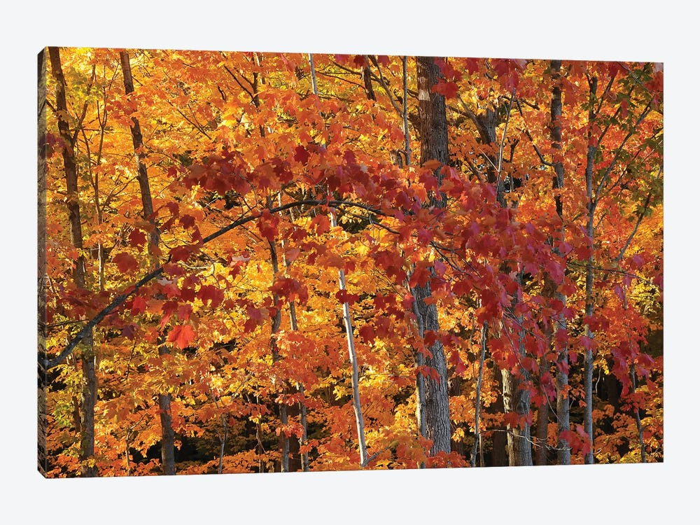Backlit Maples by Brian Wolf 1-piece Canvas Art