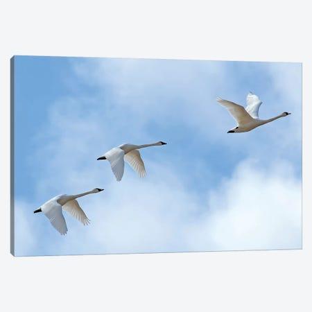 Swan Flight Canvas Print #BWF334} by Brian Wolf Canvas Print