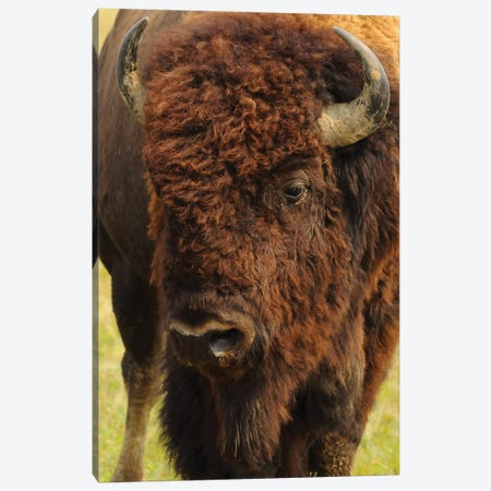 The Herd Bull Canvas Print #BWF342} by Brian Wolf Canvas Art Print