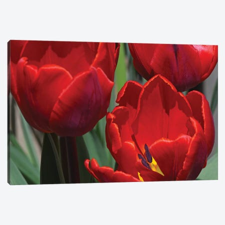 Tulips Canvas Print #BWF356} by Brian Wolf Canvas Print