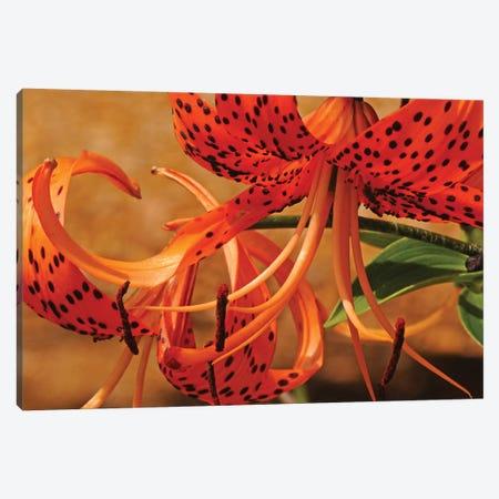 Turk's Cap Lilies Canvas Print #BWF358} by Brian Wolf Canvas Wall Art
