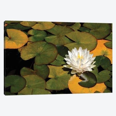 White Lily Canvas Print #BWF369} by Brian Wolf Canvas Art Print