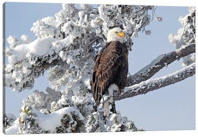Winter Eagle Canvas Art Print