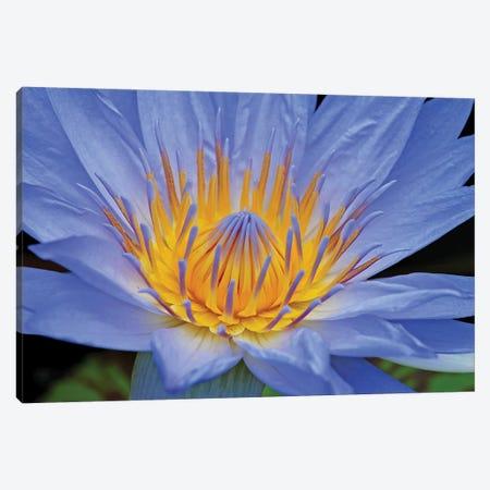 Blue Lily Canvas Print #BWF401} by Brian Wolf Canvas Wall Art