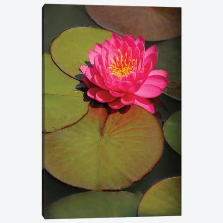 Pink Water Lily Canvas Print #BWF405} by Brian Wolf Art Print