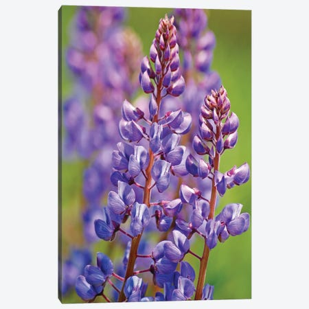 Prairie Lupine Canvas Print #BWF406} by Brian Wolf Canvas Print