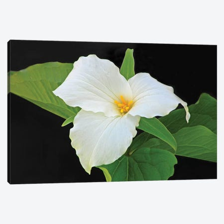 Trillium Canvas Print #BWF409} by Brian Wolf Canvas Art