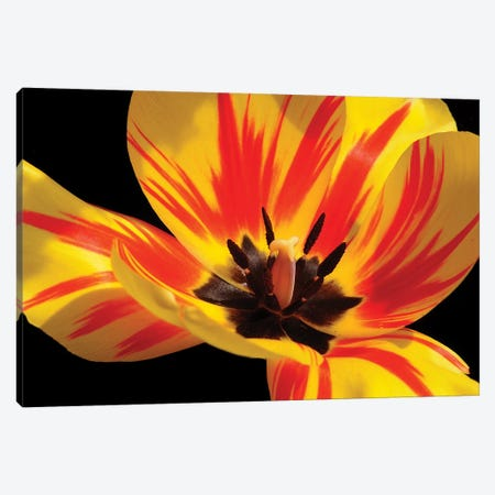 Red And Yellow Tulip Canvas Print #BWF412} by Brian Wolf Art Print