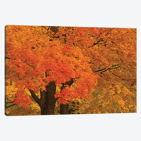 Autumn Maples Canvas Print #BWF416} by Brian Wolf Canvas Wall Art